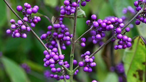 Beauty berry - RHS