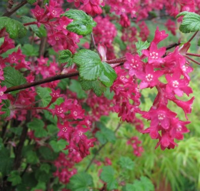 flowering currant - Jacksons Nurseries