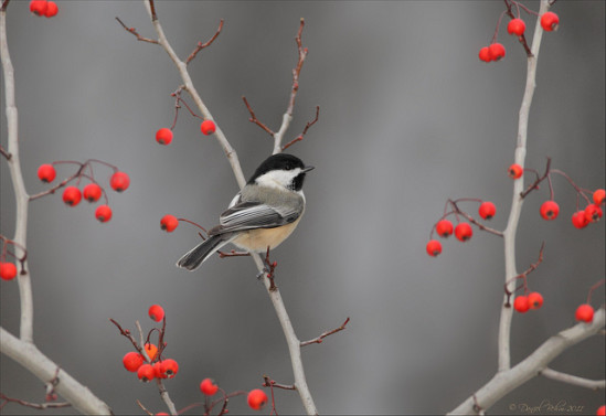Black capped chickadee copyright Daniel  Behn