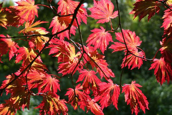 Acer japonicum 'Aconitifolium' Image by Jean-Pol Grandmant