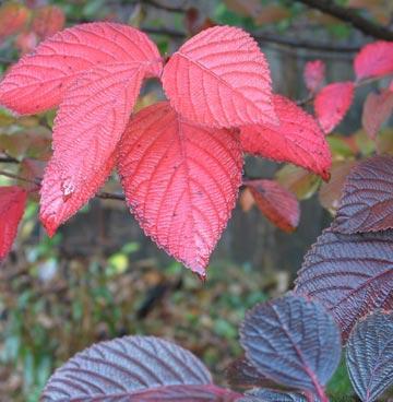 Viburnum plicatum tomentosum Image - Midwestliving.com