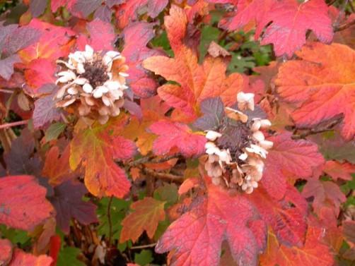 Hydrangea quericifolia Image - MBG