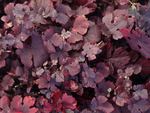Vitis vinifera 'Purpurea' Image - VerVerde