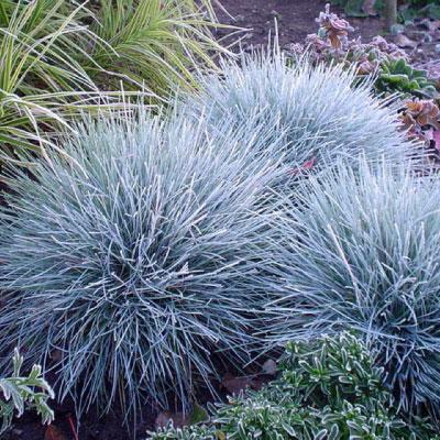 Festuca glauca elijah blue sublime for Short grasses for landscaping