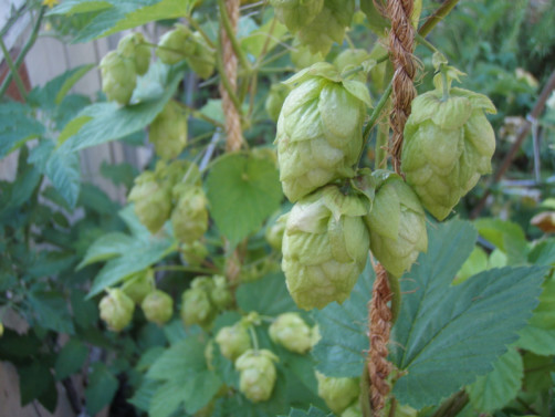 Growing hops for beer Photo credit: Seattle Home Brew
