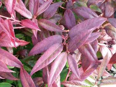 Leucothoe fontanesiana 'Zeblid''