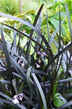 Black Mondo Grass (Ophiopogon planiscapus 'Nigrescens')