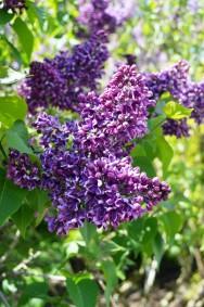 Yankee Doodle Lilac (Syringa vulgaris 'Yankee Doodle')