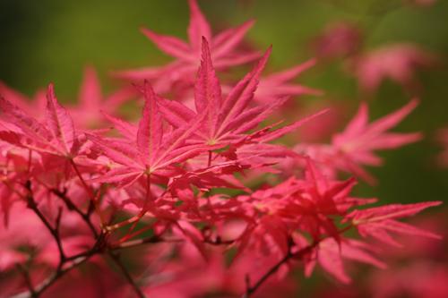 Acer palmatum 'Shindeshojo' Photo courtesy Great Plant Picks