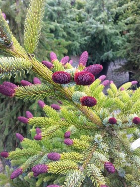Cool Conifers Sublime Garden Design Landscape Design