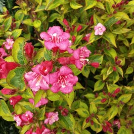 French Lace Weigela (Weigela 'French Lace'_