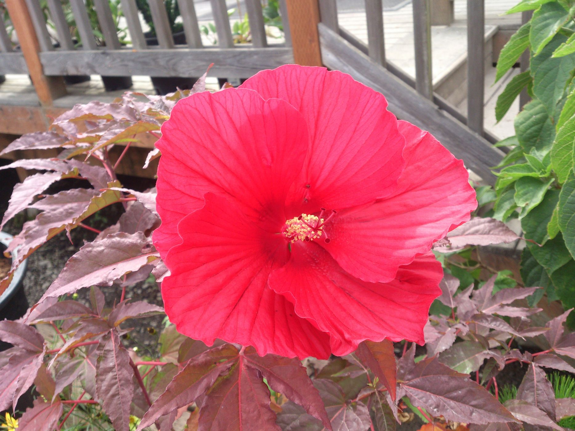 Hibiscus X Midnight Marvel Sublime Garden Design Landscape
