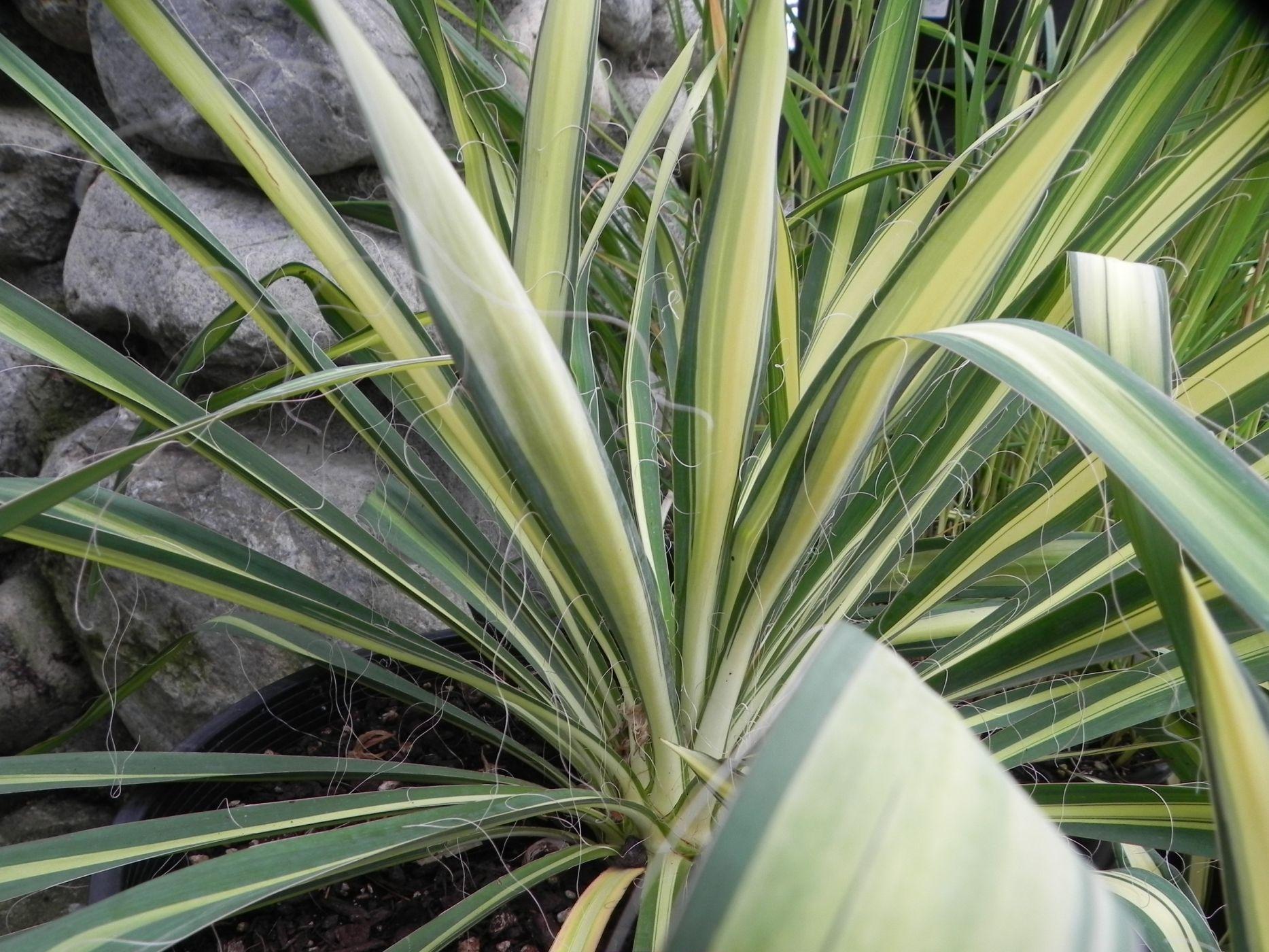 5 drought tolerant plants in the northwest sublime garden design landscape design. Black Bedroom Furniture Sets. Home Design Ideas