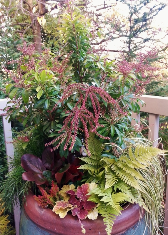 Pieris Winter Container Garden 600x800 Sublime Garden Design