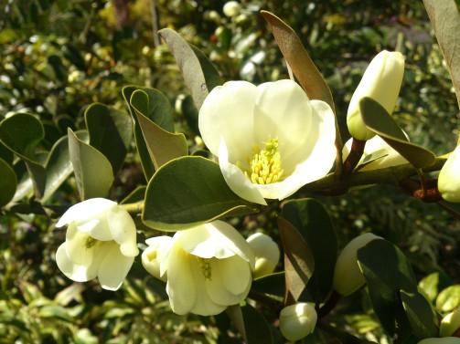 Magnolia- Bellevue Botanical Gardens -Sublime Garden Design