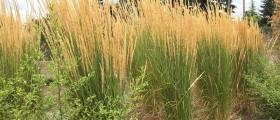 calamagrostis_karl_foerster3_800x570
