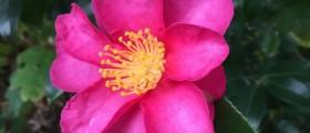 Camellia sasanqua_570x800