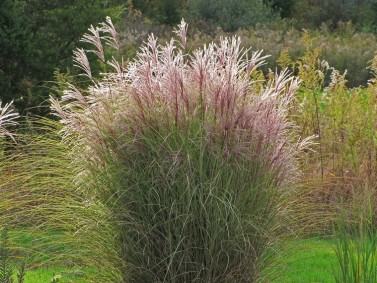 Morning Light Maiden Grass (Miscanthus sinensis 'Morning Light')