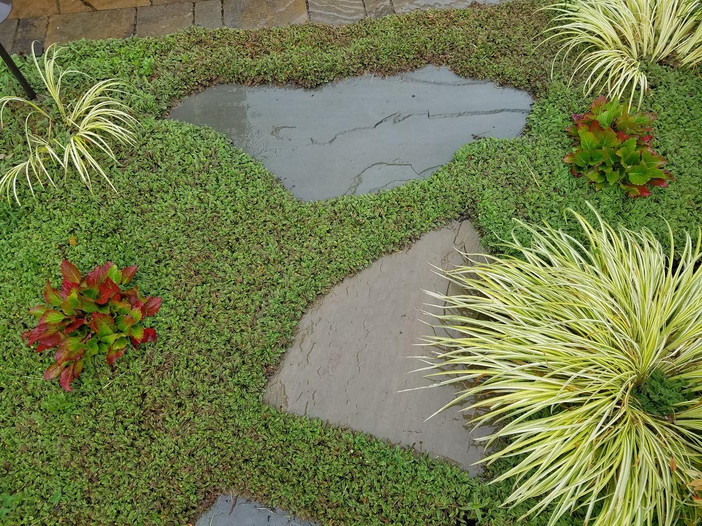 Leptinella Squalida Sublime Garden Design Landscape