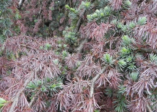 Blue Atlas Cedar Problems