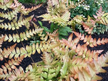 Autumn Fern (Dryopertis erythrosora 'Brilliance')
