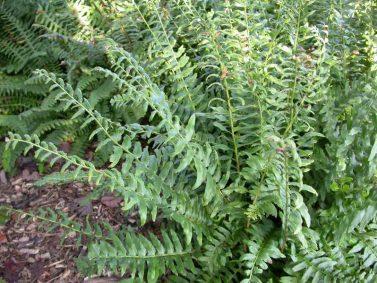Christmas Fern (Polystichum acrostichoides) by Missouri Botanical Garden
