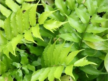 Holly Fern (Cyrtomium fortunei)