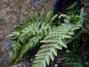 Japanese Tassel Fern (Polystichum polyblepharum)