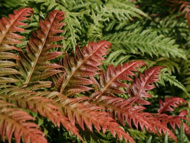 Jeweled Chain Fern (Woodwardia unigemmata) by Hardy Fern Foundation