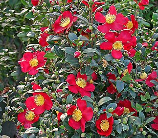 Yuletide Camellia (Camellia sasanqua 'Yuletide')