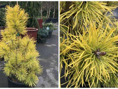 Pinus contorta var. latifolia 'Chief Joseph' (Chief Joseph Lodgepole Pine)