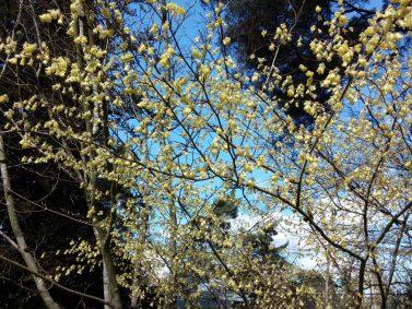 Spiked Winter Hazel (Corylopsis spicata)