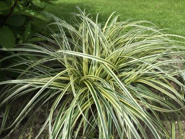 Feather Falls Variegated Sedge (Carex 'Feather Falls') Photo Courtesy of T & L Nursery