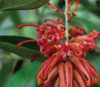 Royal Grevillea (Grevillea victoriae) Photo Courtesy of Great Plant Picks