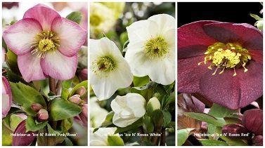 Helleborus 'Ice N' Roses'