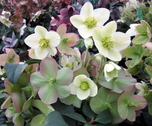 Helleborus 'Marlon' Photo Courtesy of T & L Nursery