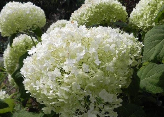 Hydrangea arborescense 'Annabelle' (Annabelle Smooth Hydrangea)