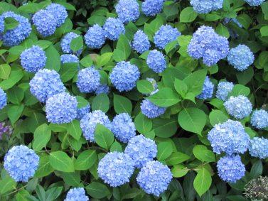 Nikko Blue Hydrangea (Hydrangea macrophylla 'Nikko Blue')