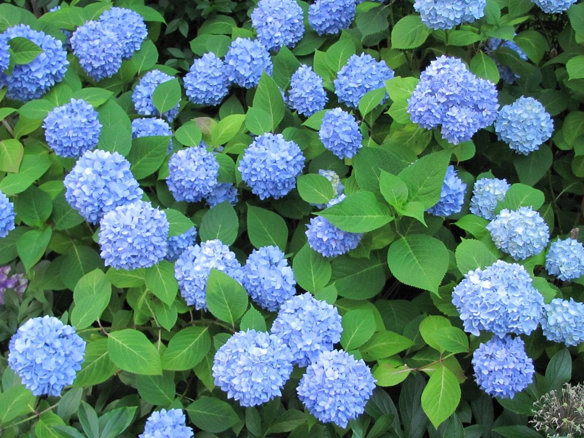 Hydrangea macrophylla 'Nikko Blue' (Nikko Blue Hydrangea)