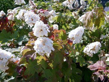 Hydrangea quercifolia 'Snow Queen' (Snow Queen Oakleaf Hydrangea)