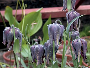 Chocolate Lily (Fritillaria affinis) Photo Courtesy of Pacific Horticulture Society