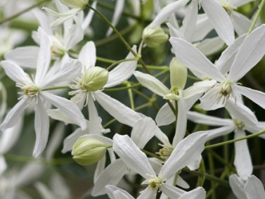 Evergreen Clematis (Clematis armandii 'Snowdrift') Photo Coutesy of Great Plant Picks