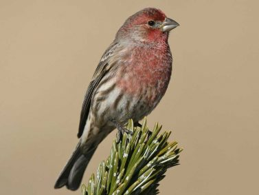 House Finch Photo Courtesy of Audubon Society