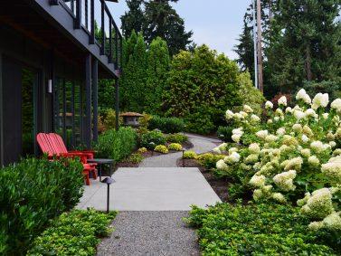 Limelight Hydrangea (Hydrangea paniculata 'Limelight'_