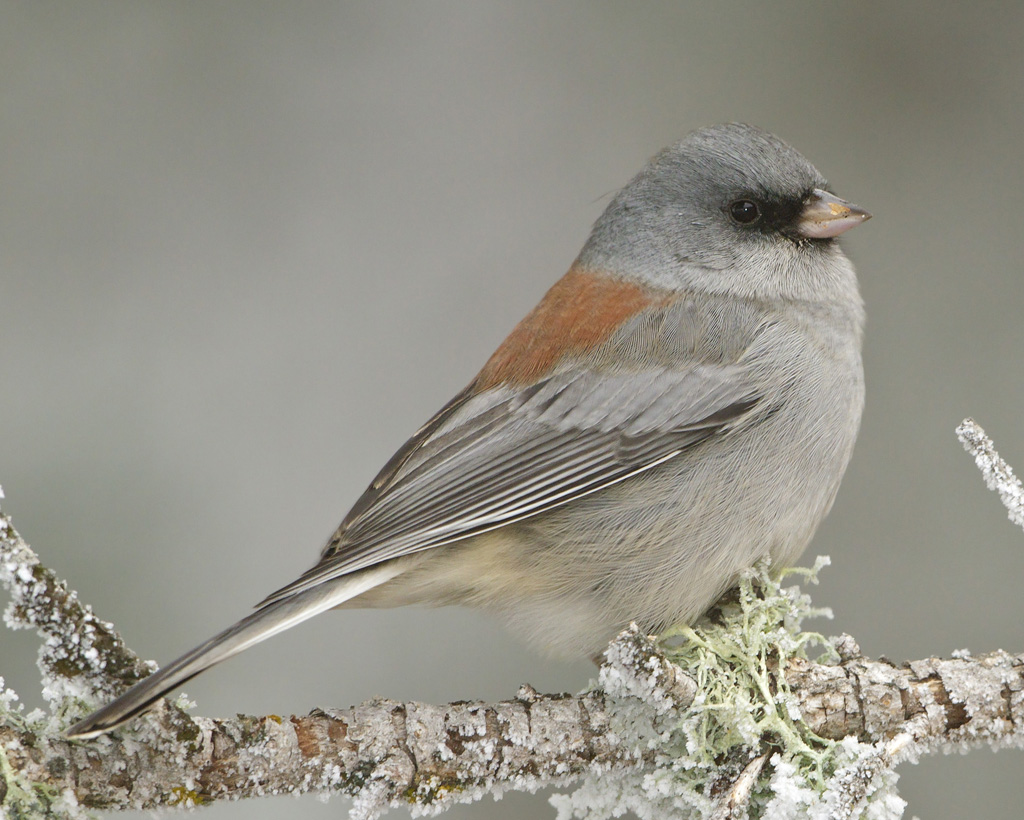 Dark Eyed Junco Photo Courtesy of Audubon Society