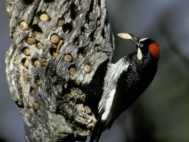 Woodpecker Photo Courtesy of Audubon Society