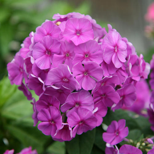 Purple Flame Phlox (Phlox paniculata 'Purple Flame')
