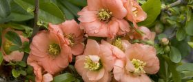Cameo Japanese Flowering Quince (Chaenomeles japonia 'Cameo') Photo Courtesy of Monrovia