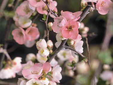 Toyo-Nishiki Flowering Quince (Chaenomeles speciosa 'Toyo-Nishiki') Photo Courtesy of Monrovia