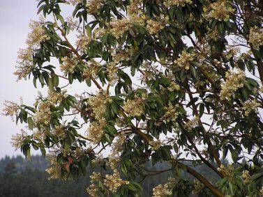 Pacific Madrona (Arbutus menziesii) Photo Courtesy of Hansen's Northwest Native Plant Database